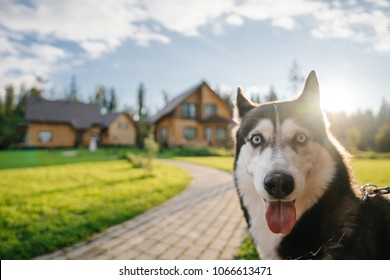 The Husky breed's dog face looks into the camera with a surprised, funny, playful mood. Doggy emotions and look.
