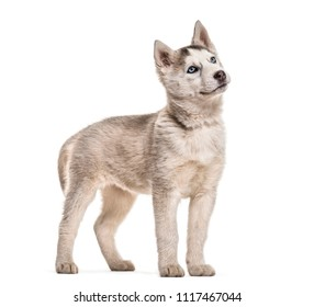Husky dog, 2 months old, standing against white background