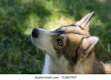 A husky dog