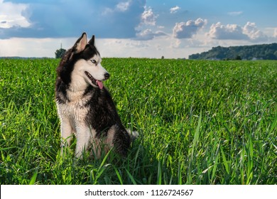 Husky dog is backlit in a green field of grass at evening. Siberian husky against Sky During Sunset. Copy space.