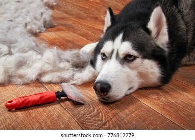 Husky dog and big pile fur with dog comb. Grooming. Slicker brush.