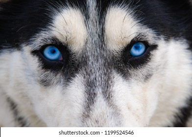 Husky dog with blue eyes intently looking straight at the photographer