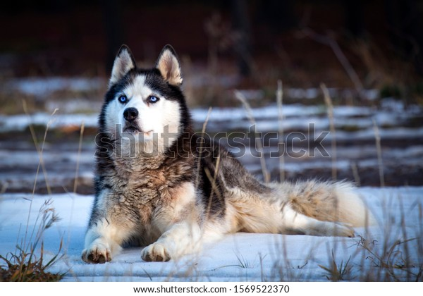 Husky dog with blue eyes laying on a patch of snow.