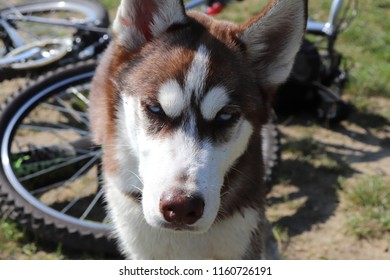 Husky dog breed in nature. Husky guards a bicycle.