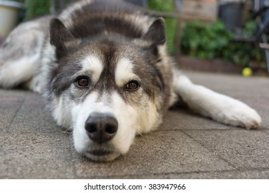 Husky dog with brown eyes resting and looking at camera with tennis ball in background