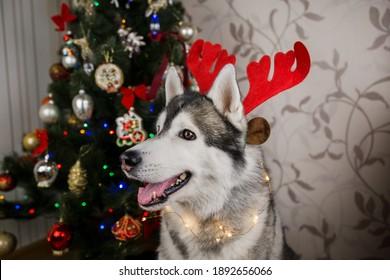 a husky dog near the christmas tree in the room