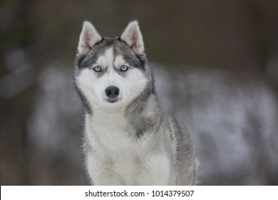 Husky dog close up photo with epic deep eyes in winter and snow