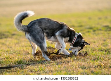 Husky dog digging a hole in the field