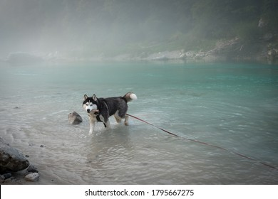 Husky dog enjoy morning bath in Soca river. Soca is an Alpine river with source in Trenta valley in Slovenia; it is famous for its emerald-green water, cleanliness, local genre of trout etc.