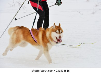 Husky dog and female athlete during skijoring competitions