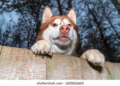 Husky dog growls from behind the fence. Vicious dog restrained by wooden fence.