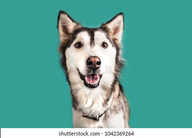 Husky Dog Isolated on Colored Background