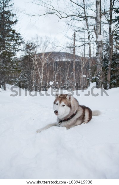 Husky dog liying on the snow in winter forest on the mountain background. Portrait of Brown and White Siberian husky looking into the distance