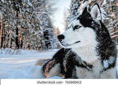 Husky dog lying in the snow. Siberian husky with blue eyes in winter forest.