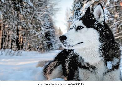 Husky Dog Images Stock Photos Vectors Shutterstock
