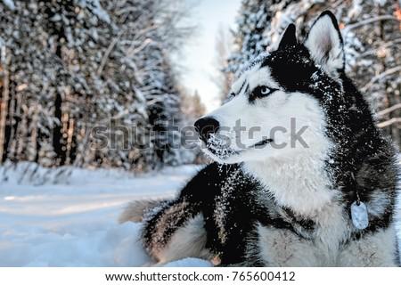 Husky Dog Lying Snow Siberian Husky Stock Photo Edit Now 765600412