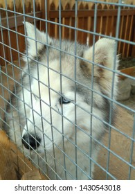 Husky dog or Malamute in captivity