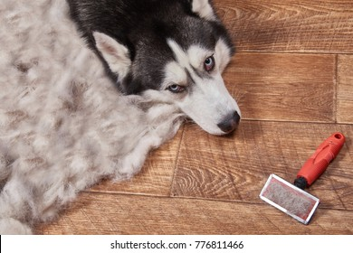 Husky dog in moulting and big pile fur with dog comb after grooming. Brush for dog hair. Slicker brush.