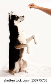 Husky Dog Obedient Up