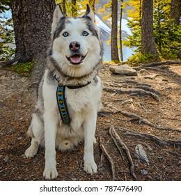 A husky dog on a hike at Floe Lake in Kootenay National Park