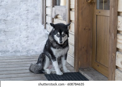 Husky dog on the porch of the house. In winter.