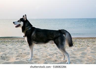 Husky dog on the sea beach