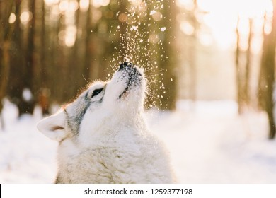 Husky dog on snowy field in winter forest. Pedigree dog playing with snowflakes on a sunset