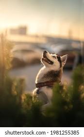 Husky dog. outdoors at sunset