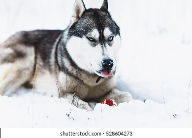 Husky dog playing in the snow.