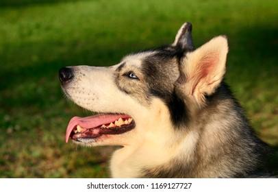 Husky dog portrait outdoors