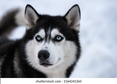 Husky dog portrait, winter snowy background. Funny pet on walking before sled dog training.