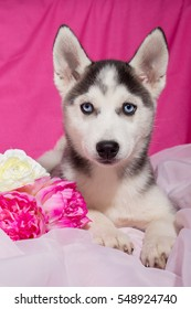 Husky  dog puppy with blue eyes, black and white.