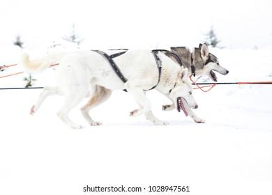 Husky dog race