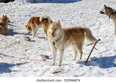 Husky dog for a ride in a sleigh in winter on snow background. free transport in the mountains.