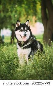 Husky Dog Sit In Summer Greeen Grass. Funny Lovely Pet Dog.
