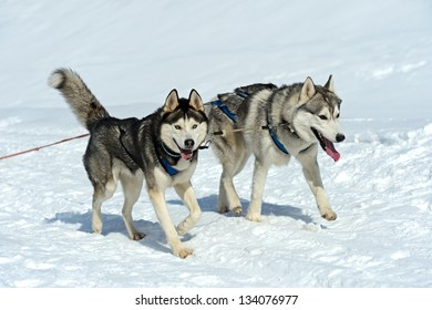 Husky dog in the sled run in the snow