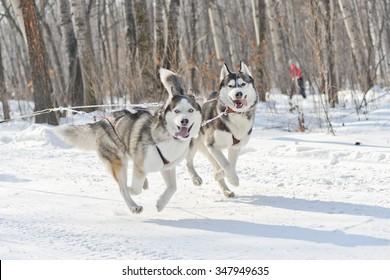 husky dog sledding in