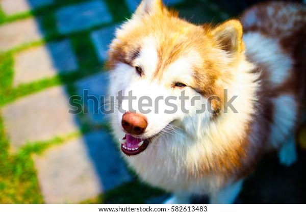 Husky Dog Smile