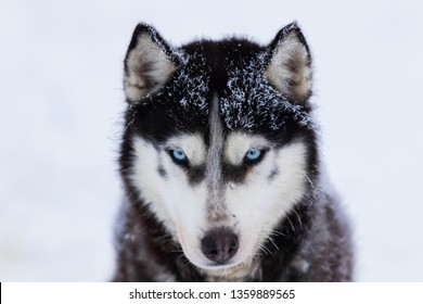 Husky dog in the snow. Black and white Siberian husky with blue eyes on a snowy background
