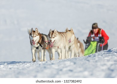 Husky dog team rides uphill in a snowy winter
