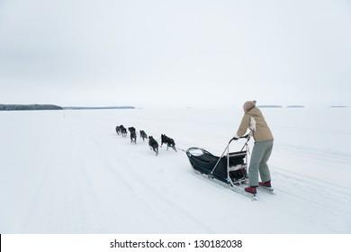 husky dog team riding