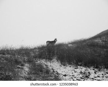 Husky dog walks through the first snow in the mountains/Husky dog stands on a snowy mountainside against the sky. Black and white photography