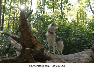 Husky dog walking in the forest