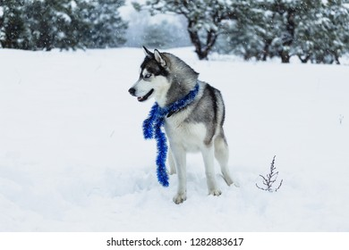 Husky dog walking on the street in the snow. Portrait of husky dogs.
