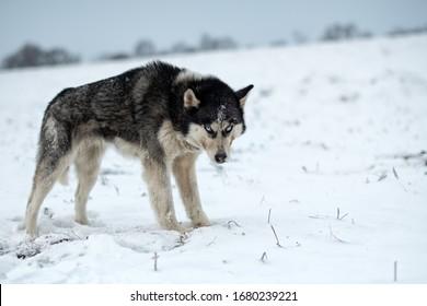 Husky dog walking in the snow. Portrait of husky dogs.
