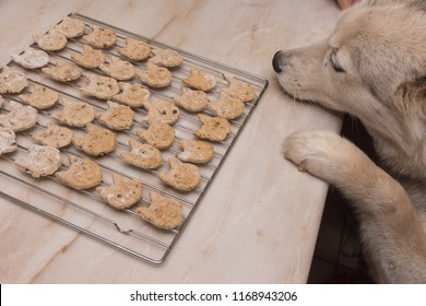 Husky dog wants homemade dog biscuits on oven grill