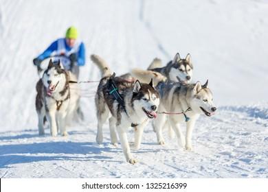 Husky dogs during sled dog race