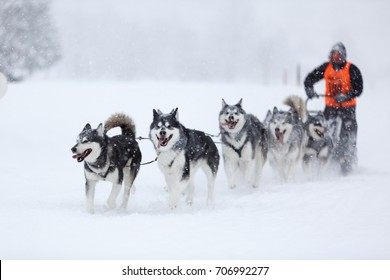 Husky dogs during sled dog race