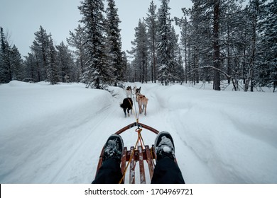 husky dogs in harness to pul sled in lapland, Scandinavia