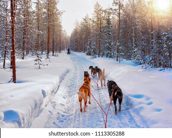 Husky Dogs on Sled in Rovaniemi in Finland of Lapland at Christmas. Dogsled as a canine teamwork. At sunset